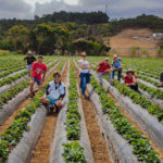 Jakub Sciora and other study abroad students picking strawberries in Australia