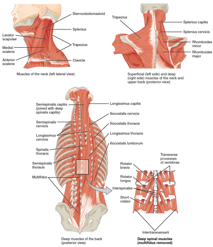 Illustration of muscles of the back