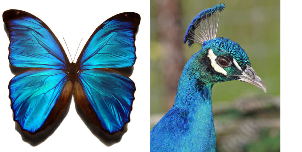 Close-up image of blue morpho butterfly next to a photograph of a peacock's head and neck